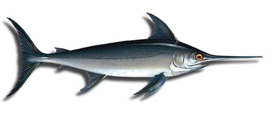 El plan de recuperaci n del pez espada establece una veda for Curiosidades del pez espada